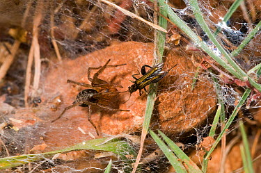 Funnel-web spider (Lycosoides coarctata) with potential prey, a field cricket (Gryllinae) nymph, Gargano, Manfredonia, Puglia, Italy, May  -  Paul Harcourt Davies/ npl