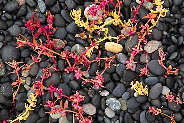 Sea sandwort (Honckenya) in autumn colours, Hvalnes, Iceland, September 2009  -  Theo Bosboom/ npl