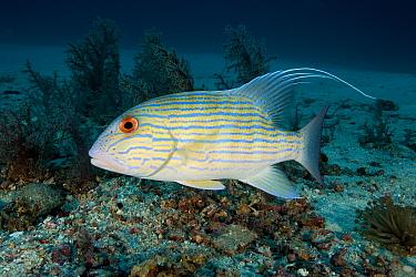 Sailfin snapper (Symphorichthys spilurus) Raja Ampat, Irian Jaya, West Papua, Indonesia, Pacific Ocean  -  Franco Banfi/ npl