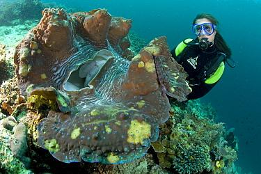 Scuba diver with giant clam (Tridacna gigas) Raja Ampat, Irian Jaya, West Papua, Indonesia, Pacific Ocean, vulnerable species  -  Franco Banfi/ npl