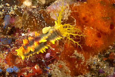 Sea cucumber (Colochirus robustus) Friwinbonda Point, Kri island, Raja Ampat, Irian Jaya, West Papua, Indonesia, Pacific Ocean  -  Franco Banfi/ npl