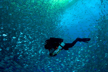 Diver with rebreather inside sea cage used for aquaculture with thousand of Gilt-head bream (Sparus aurata) Ponza Island, Italy, Tyrrhenian Sea, Mediterranean  -  Franco Banfi/ npl
