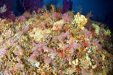 Red coral (Corallium rubrum) Punta Sant'Angelo dive-site, Ischia Island, Italy, Tyrrhenian Sea, Mediterranean, vulnerable species  -  Franco Banfi/ npl