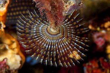 Spirograph worm (Sabella spallanzani) Ischia Island, Italy, Tyrrhenian Sea, Mediterranean  -  Franco Banfi/ npl