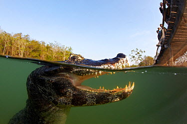 Spectacled caiman (Caiman crocodilus) watched by tourist on bridge, Rio Bai?�a Bonita, Bonito, Mato Grosso do Sul, Brazil  -  Franco Banfi/ npl