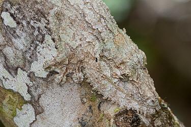 Leaf tailed gecko (Uroplatus fimbriatus) Andasibe-Mantadia NP, Madagascar  -  Bernard Castelein/ npl
