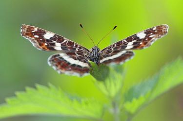 Map Butterfly (Araschnia levana), Peerdsbos, Brasschaat, Belgium, august 2012  -  Bernard Castelein/ npl