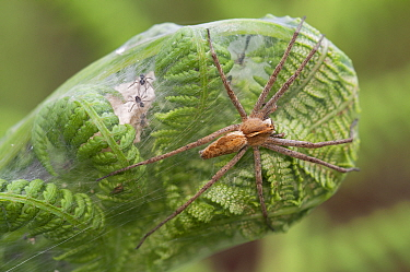 Nursery web spider (Pisaura mirabilis) with spiderlings, Brasschaat, Belgium, July  -  Bernard Castelein/ npl