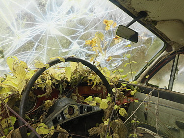 Interior of old abandoned car, with nettles growing inside and a smashed windscreen, Varmland, Sweden  -  Pal Hermansen/ npl