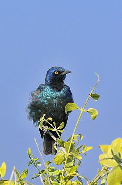Cape Glossy Starling (Lamprotornis nitens) Etosha National Park, Namibia  -  Dave Watts/ npl
