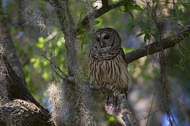 Southern Barred Owl (Strix varia georgica) perched on a snag in late afternoon, Myakka City, Florida, USA  -  Lynn M. Stone/ npl