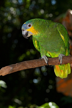 Orange-Winged Amazon Parrot (Amazona amazonica) captive, from east of Andes from Colombia to southeast Brazil  -  Lynn M. Stone/ npl