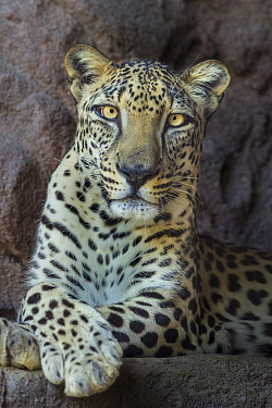Male Arabian Leopard (Panthera pardus nimr) at the Arabian Wildlife Centre and captive-breeding project, Sharjah, United Arab Emirates  -  Nick Garbutt/ npl
