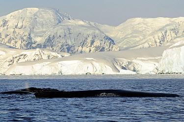 Humpback whale (Megaptera novaengliae) surfacing, Antarctic Peninsula, Antarctica  -  Enrique Lopez Tapia/ npl