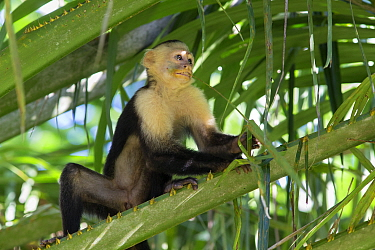 White-faced Capuchin (Cebus capucinus imitator) chewing on grass, with face covered in pollen from flower, Osa Peninsula, Costa Rica  -  Suzi Eszterhas/ npl