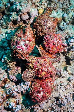A group of five Reef stonefish (Synanceia verrucosa) in a mating congregation, the males jostling for position and swimming over the females The female stonefish releases its eggs on the bottom of the...  -  Georgette Douwma/ npl