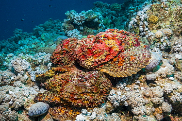 A group of Reef stonefish (Synanceia verrucosa) in a mating congregation, the males jostling for position and swimming over the females The female stonefish releases its eggs on the bottom of the sea...  -  Georgette Douwma/ npl