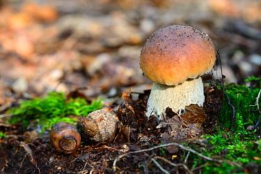 Cep (Boletus edulis) growing on forest floor, Alsace, France, October  -  Eric Baccega/ npl