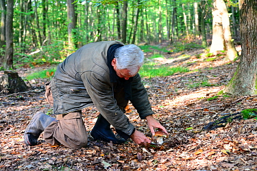 Man using a knife to harvest a Cep (Boletus edulis) growing on forest floor, Alsace, France, October  -  Eric Baccega/ npl
