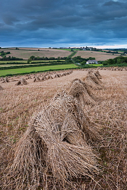 Traditional wheat stooks harvested for thatching, Coldridge, Devon, England August 2012  -  Adam Burton/ npl