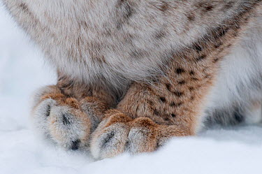 Close-up of the front paws of a European Lynx (Lynx lynx) showing the large gap between toes that allows it to move easily in heavy snow, captive, Norway, February  -  Edwin Giesbers/ npl