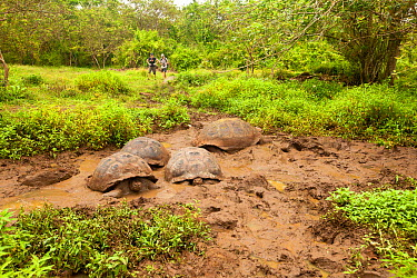 Galapagos giant tortoises (Chelonoidis nigra) taking mud bath, Galapagos Islands Vulnerable species  -  Michele Westmorland/ npl