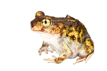 Eastern Spadefoot Toad (Scaphiopus holbrookii) Oxford, Mississippi, USA, March Meetyourneighboursnet project  -  MYN/ JP Lawrence/ npl