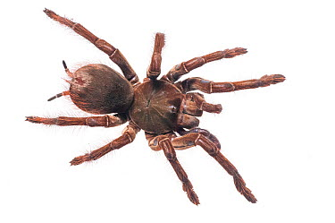 Goliath birdeater (Theraphosa blondi) Kanuku Mountains, Guyana Meetyourneighboursnet project  -  MYN/ Andrew Snyder/ npl