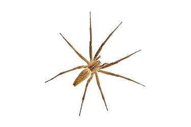 Nursery web spider (Pisaura mirabilis) Barnt Green, Worcestershire, UK, July Meetyourneighboursnet project  -  MYN/ Tim Hunt/ npl