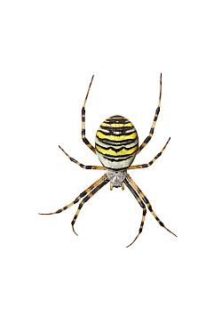 Wasp spider (Argiope bruennichi) Barnt Green, Worcestershire, UK, September Meetyourneighboursnet project  -  MYN/ Tim Hunt/ npl