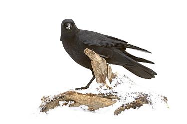 American crow Corvus brachyrhynchos  -  Juanjo Segura/ npl