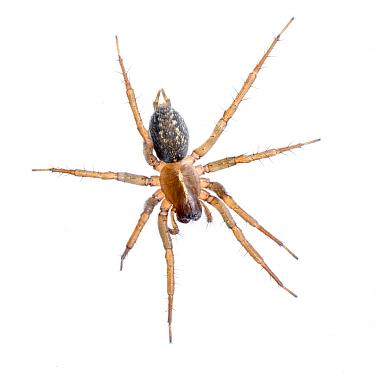 Funnel weaver spider (Lycosoides coarctata) Muchamiel, Alicante, Spain November Meetyourneighboursnet project  -  MYN/ Juanjo Segura/ npl