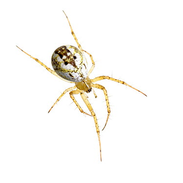Orb weaver spider (Mangora acalypha) San Juan, Alicante, Spain, October Meetyourneighboursnet project  -  MYN/ Juanjo Segura/ npl