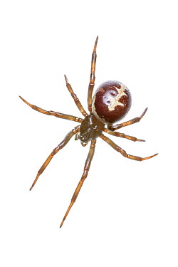 False widow spider (Steatoda paykulliana) San Juan, Alicante, Spain, November  -  MYN/ Juanjo Segura/ npl