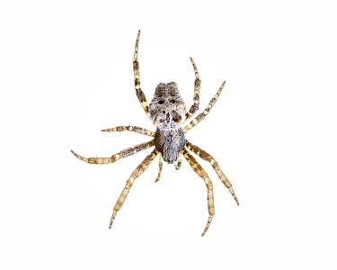 Tropical Tent-Web Spider (Cyrtophora citricola) Muchamiel, Alicante, Spain, October Meetyourneighboursnet project  -  MYN/ Juanjo Segura/ npl
