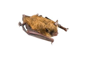 Little Brown Bat (Myotis lucifugus) Ohio, USA, July Meetyourneighboursnet project  -  MYN/ Les Meade/ npl