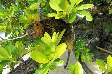 Sulawesi bear cuscus (Ailurops ursinus) Sulawesi, Indonesia Vulnerable species  -  Roberto Rinaldi/ npl
