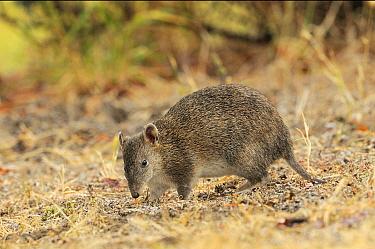 Southern Brown Bandicoot (Isoodon obesulus) digging, Tasmania, Australia  -  Dave Watts/ npl