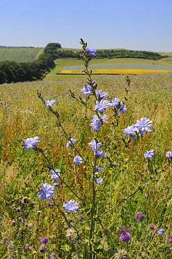 Chicory (Cichorium intybus) flowering among Nodding, Musk thistles (Carduus nutans) in a fallow field with a tree belt and a flowering Linseed crop (Linum usitatissimum) in the background, Marlborough...  -  Nick Upton/ npl