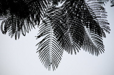 Palm (Areaceae) leaves silhouetted in mist at dawn, Royal Chitwan National Park, Nepal  -  Enrique Lopez Tapia/ npl