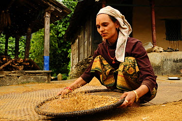 Woman winnowing wheat from chaff Ghandruk Village (at altitude of 1990m) Annapurna Sanctuary, central Nepal, November 2011  -  Enrique Lopez Tapia/ npl