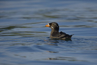 Rhinoceros Auklet (Cerorhinca monocerata) adult in water, British Columbia, Canada, June  -  Loic Poidevin/ NPL
