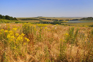 Fallow field with flowering Common ragwort (Jacobaea vulgaris), Common Hogweed (Heracleum sphondylium) and Spear thistles (Cirsium vulgare) with mix of pastureland, arable crops, tree belts and the Ri...  -  Nick Upton/ npl