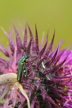 Male Thick-legged flower beetle, Swollen-thighed beetle (Oedemera nobilis) resting on a Nodding, Musk thistle (Carduus nutans) flowering in a Pollen and Nectar flower mixture bordering a Barley crop,...  -  Nick Upton/ npl