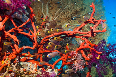 Shimmering cardinals (Archamia lineolata) on coral reef with Red rope sponge (Amphimedon compressa) and soft corals and a gorgonian in background Egypt, Red Sea  -  Georgette Douwma/ npl