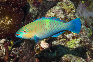 Rusty parrotfish (Scarus ferrugineus) Range Red Sea, Gulf of Aden and Persian Gulf Egypt, Red Sea  -  Georgette Douwma/ npl
