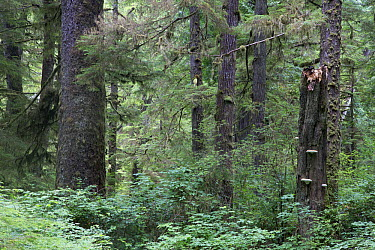 Temperate rainforest scenic with ancient Red cedar trees (Thuja plicata) and dead stump with bracket fungi Pacific Rim National Park, Vancouver Island, British Columbia, Canada, August  -  David Pattyn/ npl