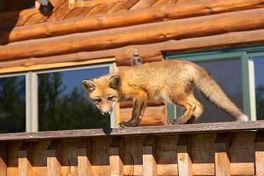 Red fox (Vulpes vulpes) cub walking on a fence, Minnesota, USA, May  -  Shattil & Rozinski/ npl