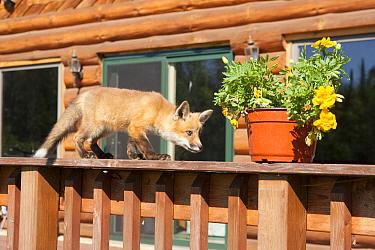 Red fox (Vulpes vulpes) cub walking on a fence, looking at a flowerpot, Minnesota, USA, May  -  Shattil & Rozinski/ npl