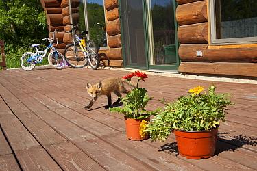 Red fox (Vulpes vulpes) cub on patio decking, Minnesota, USA, May  -  Shattil & Rozinski/ npl